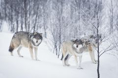 Three Wolves in the Snow. Wolf in a norwegian winter forest. Snowing Royalty Free Stock Images