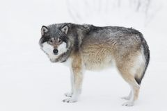 One Wolf in the Snow. Wolf in a norwegian winter forest. Snowing Royalty Free Stock Photo