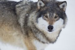 Wolf look in the Camera. Wolf in a norwegian winter forest. Snowing Royalty Free Stock Photo