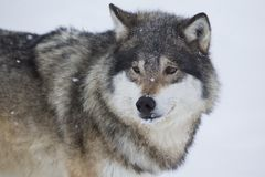 Wolf Standing in the Snow. Wolf in a norwegian winter forest. Snowing Stock Image