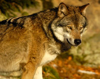 Wolf observe II. Wolf in Wood royalty free stock image