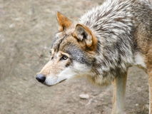 Wolf. Old wolf is searching for food Royalty Free Stock Photo