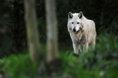 Wolf onder maanlicht Royalty-vrije Stock Fotografie