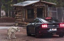 Wolf op de weg Stock Fotografie
