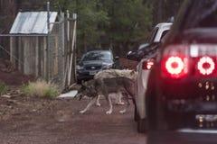 Wolf op de weg Royalty-vrije Stock Foto