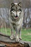 Wolf op een logboek royalty-vrije stock afbeelding