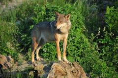 Wolf op rotsen Stock Afbeelding
