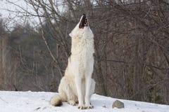Wolf op sneeuw Royalty-vrije Stock Foto's