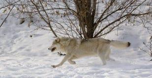 Wolf op sneeuw Stock Afbeeldingen