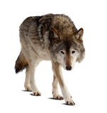 Wolf over white. Background with shade royalty free stock image