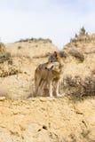 Wolf på Guard royaltyfria bilder