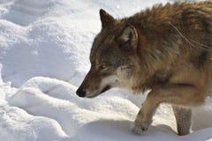 Wolf på kringstrykandet Arkivbilder