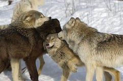 Wolf pack. Interaction, animal dominance behavior Royalty Free Stock Photos