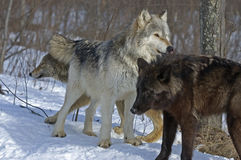 Wolf pack. Interaction,with white one the alpha Royalty Free Stock Photos