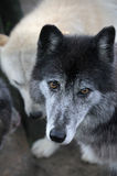 Wolf in Pack Royalty Free Stock Images