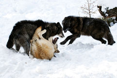 Wolf Pack. Wolves fighting for dominance of pack Royalty Free Stock Photography