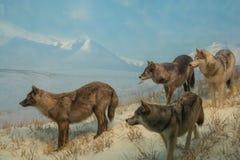 Wolf Pack Photographie stock libre de droits