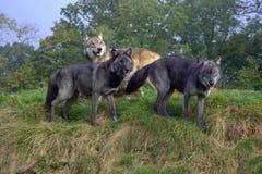 Wolf Pack Royaltyfri Bild