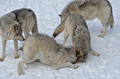 Wolf Pack Stock Foto