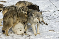 Wolf pack Stock Photography