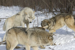 Wolf pack Stock Photos