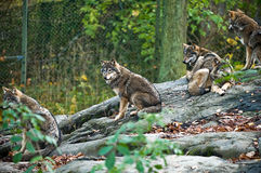 Wolf pack Stock Images
