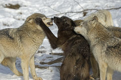 Wolf pack aggression. Wolf pack behavior surrounding deer kill Royalty Free Stock Photo