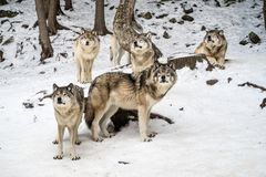 Gray wolf pack with alpha in the center looking at camera. Alpha wolf with its pack chilling, waiting in the snow, winter, omega parc, quebec, canada Royalty Free Stock Photo