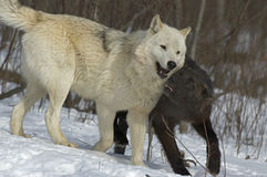 Wolf pack behavior. Black wolf and white alpha wolf Royalty Free Stock Image