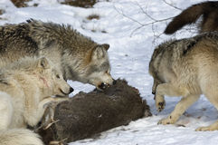 Wolf pack behavior. Wolves aggression over prey,animal behavior Stock Photography