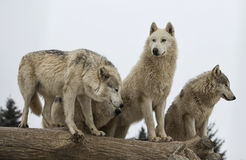 Wolf pack. Close up image of a grey wolf or timber wolf pack.  Snowing lighty Stock Photo