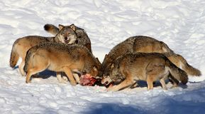 Wolf pack eating Stock Image