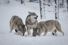 Wolf pack. A wolf pack feeding in deep snow stock photos