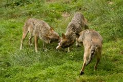 Wolf pack. Fighting for meat Royalty Free Stock Photos