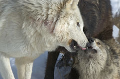 Wolf pack interaction. Gray wolves status conflict in pack Stock Images