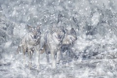 Wolf pack in the mountain, winter and snow Royalty Free Stock Image
