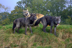 Three wolves in front of trees. Northwestern timber wolves (Canis lupus occidentalis) in a wolf reservation park, England royalty free stock image