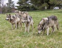 Wolf Pack perigoso Foto de Stock Royalty Free