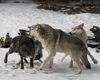 Wolf Pack playing in the snow. This photo was created in February 2018 in Montana ,USA stock image