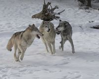 Wolf Pack playing in the snow. This photo was created in February 2018 in Montana ,USA stock photo