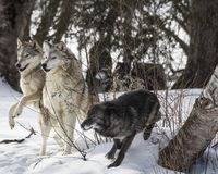 Wolf Pack playing in the snow. This photo was created in February 2018 in Montana ,USA royalty free stock image