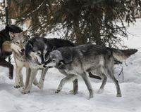 Wolf Pack playing in the snow. This photo was created in February 2018 in Montana ,USA stock photos