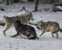 Wolf Pack playing in the snow. This photo was created in February 2018 in Montana ,USA stock images