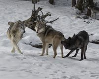 Wolf Pack playing in the snow. This photo was created in February 2018 in Montana ,USA stock photography