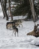 Wolf Pack playing in the snow. This photo was created in February 2018 in Montana ,USA royalty free stock photo
