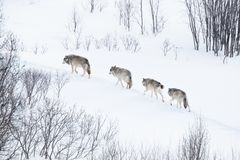 Wolf pack running in the cold landscape. Wolves in norwegian winter forest. Snowing a cold day, February Royalty Free Stock Image
