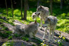 Wolf Pack of Three Wolves. A small wolf pack with three wolves gathered on rocks in a Canadian forest in the foreground and one wolf approaching in the distance Stock Images