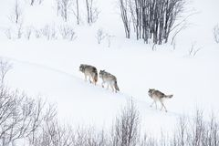 Wolf pack walking in winter landscape royalty free stock image
