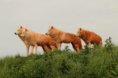 Wolf pack. Wildlife group hunting Stock Photo