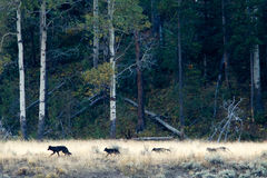 Wolf pack in Yellowstone. Wyoming, Yellowstone National Park Stock Photo